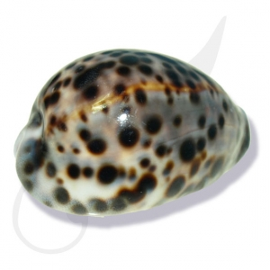 Tiger Cowrie Sea Shell